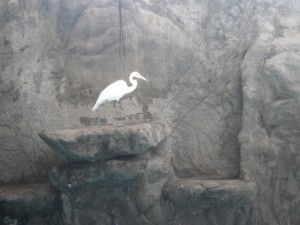 The stork few down to the show area and made itself comfy to watch it. I like that the trainer would periodically send it fish, too!