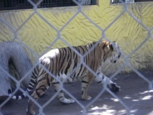 I did not expect to see a tiger today!