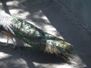 Peacocks are actually quite hideous, but their tails are impressive.