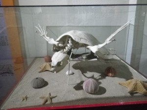 Tortoise skeletons look rather sinister!