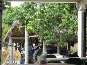 I dined within view of a mango tree.