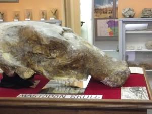 Mastodon skull.