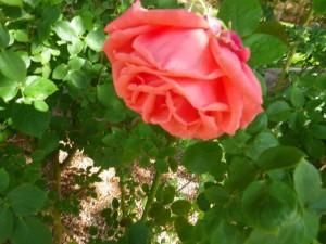 Coral rose.