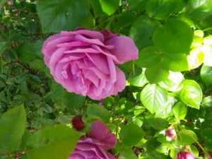Magenta rose.