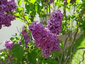 Nothing says May more to me than lilacs. I will be planting a lilac tree at Haven!