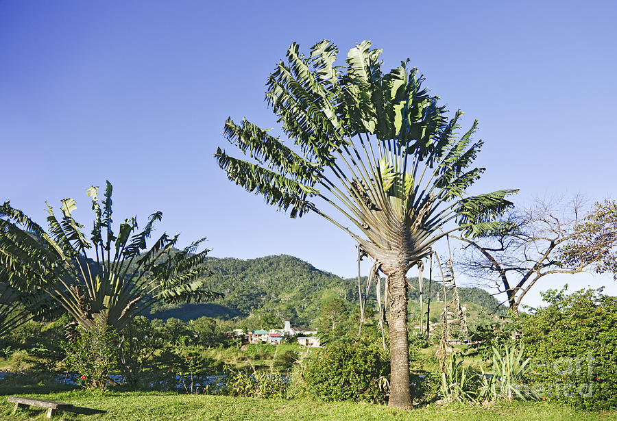 travellers palm